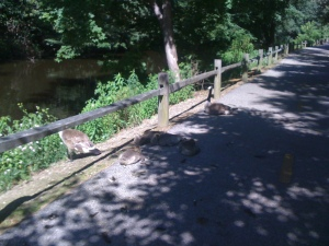 The goose family along the Blackstone Valley bike path.