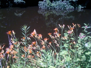 Orange daylilies along the Blackstone Canal.