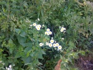 Tiny flowers along the Blackstone River Bike Path.